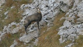 Male chamois looking suspicious and whistling. stock video footage