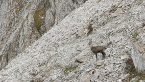 Male chamois in a mountain scree. stock video footage