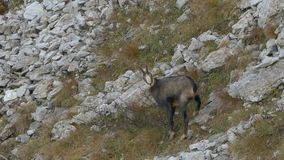 Male chamois ready to run. stock video footage