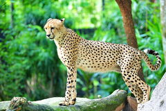 Male cheetah Stock Photography