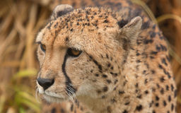 Male Cheetah Arkivfoto