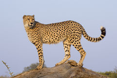 Male Cheetah (Acinonyx jubatus), South Africa. A Male Cheetah (Acinonyx jubatus) stands lookout ontop of a dead tree, South Africa Royalty Free Stock Photo