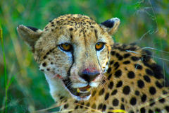 Male cheetah after eating Stock Images