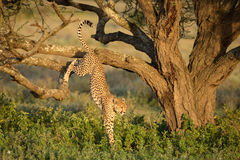 Male Cheetah jumping out of a tree in the Serengeti, Tanzania. Male Cheetah jumping out of a tree in the Serengeti National Park, Tanzania Royalty Free Stock Images