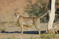 Male cheetah marking territory Royalty Free Stock Photos