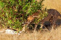 Male cheetah in Masai Mara Stock Images