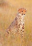 Male cheetah in Masai Mara Stock Photography