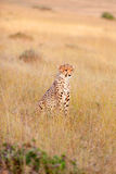 Male cheetah in Masai Mara Royalty Free Stock Images