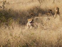 Male Cheetah Stock Image
