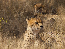 Male Cheetah Stock Image