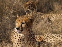 Male Cheetah Royalty Free Stock Photo