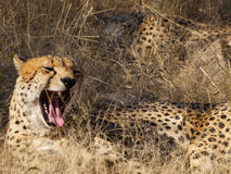 Male Cheetah Royalty Free Stock Photography