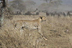 Male cheetah running through bush savanna on background ungulate Royalty Free Stock Photo