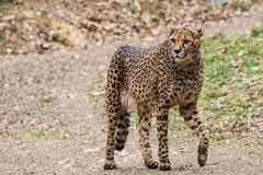 Male cheetah walking Stock Images