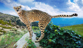 Male cheetah  at wildness. Male cheetah standing on stone at wildness Stock Image