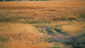 Male cheetahs in Masai Mara. Male cheetahs walking in grass and looking around in Masai Mara, Kenya stock video