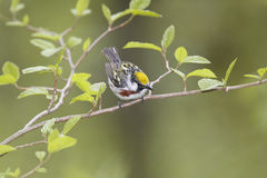 Male Chestnut-sided Warbler Royalty Free Stock Photos