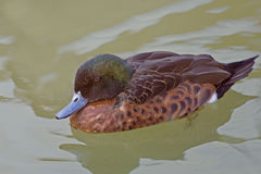 Male Chestnut Teal, Anas castanea Royalty Free Stock Photo