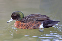 Male Chestnut Teal, Anas castanea swimming Royalty Free Stock Photos