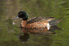 Male chestnut teal Royalty Free Stock Photography