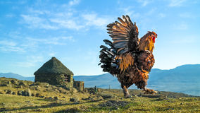 Male chicken,cock or rooster flapping wings in the berg Stock Images