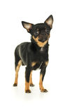 Male chihuahua dog Royalty Free Stock Photos