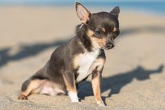 Male Chihuahua puppy. At the beach Stock Image