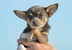 Male Chihuahua puppy Royalty Free Stock Photography
