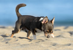 Male Chihuahua puppy. Walking at the beach Royalty Free Stock Images