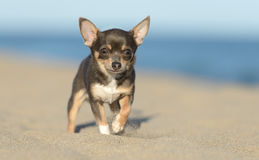 Male Chihuahua puppy. Walking at the beach Royalty Free Stock Photo