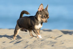 Male Chihuahua puppy. Walking at the beach Stock Image
