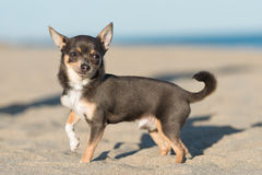 Male Chihuahua puppy. Walking on the beach Royalty Free Stock Photo