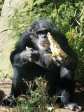 Male Chimp Eating royalty free stock images