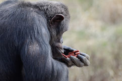 Male chimp with food2 Royalty Free Stock Images