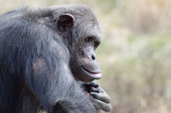 Male chimp with food3 Stock Photo