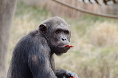 Male chimp with food Stock Images