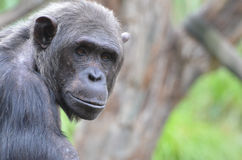 Male chimp portrait 2 Stock Photography