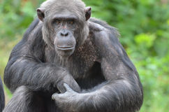 Male chimp portrait Royalty Free Stock Images