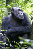 Male Chimpansees in National Park. Alpha Male  Chimpansees in Kibale National Park Royalty Free Stock Photos