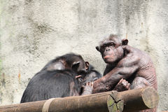Male Chimpanzee Stock Photography