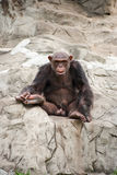 Male Chimpanzee Royalty Free Stock Images