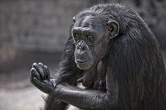 Male chimpanzee. Communicating with visitors at a zoo Royalty Free Stock Photos