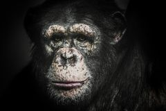 Male chimpanzee in the dark looking straight in the eye. Male African chimpanzee in the dark looking straight harsh gaze into my eyes royalty free stock photography