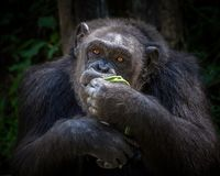 Chimpanzee is eating in the natural atmosphere. The male chimpanzee is eating in the natural atmosphere of the zoo stock photography