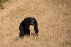 Male chimpanzee. In Jane Goodall Chimp Eden refuge stock image