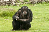 Male Chimpanzee Stock Photos