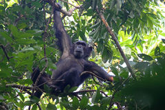 Male chimpanzee on a tree. Male chimpanzee (Pan troglodytes) clinging to a tree in Gombe Stream National Park, Tanzania Royalty Free Stock Photos