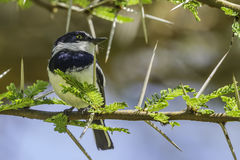 Male Chin-spot Batis, Glint in eye Royalty Free Stock Photography