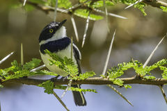 Male Chin-spot Batis, Perched Royalty Free Stock Photography