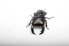 The male china bettle Royalty Free Stock Photos